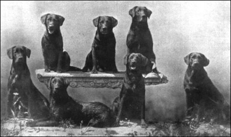 Breed Standard For The Labrador Retriever Kennel Club Haredale