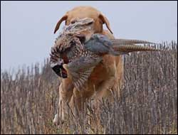 Retrieving a pheasant