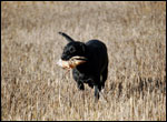 Dart retrieving a French partridge